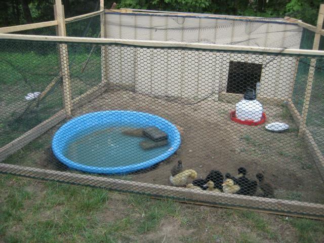 Duck Brooder Grossness