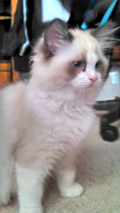Ragdoll Kitten Ragdoll Kitten Pretty Cats Cute Cats