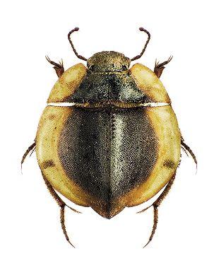 Lepidochora Discoidalis Insectes Animaux Entomologie