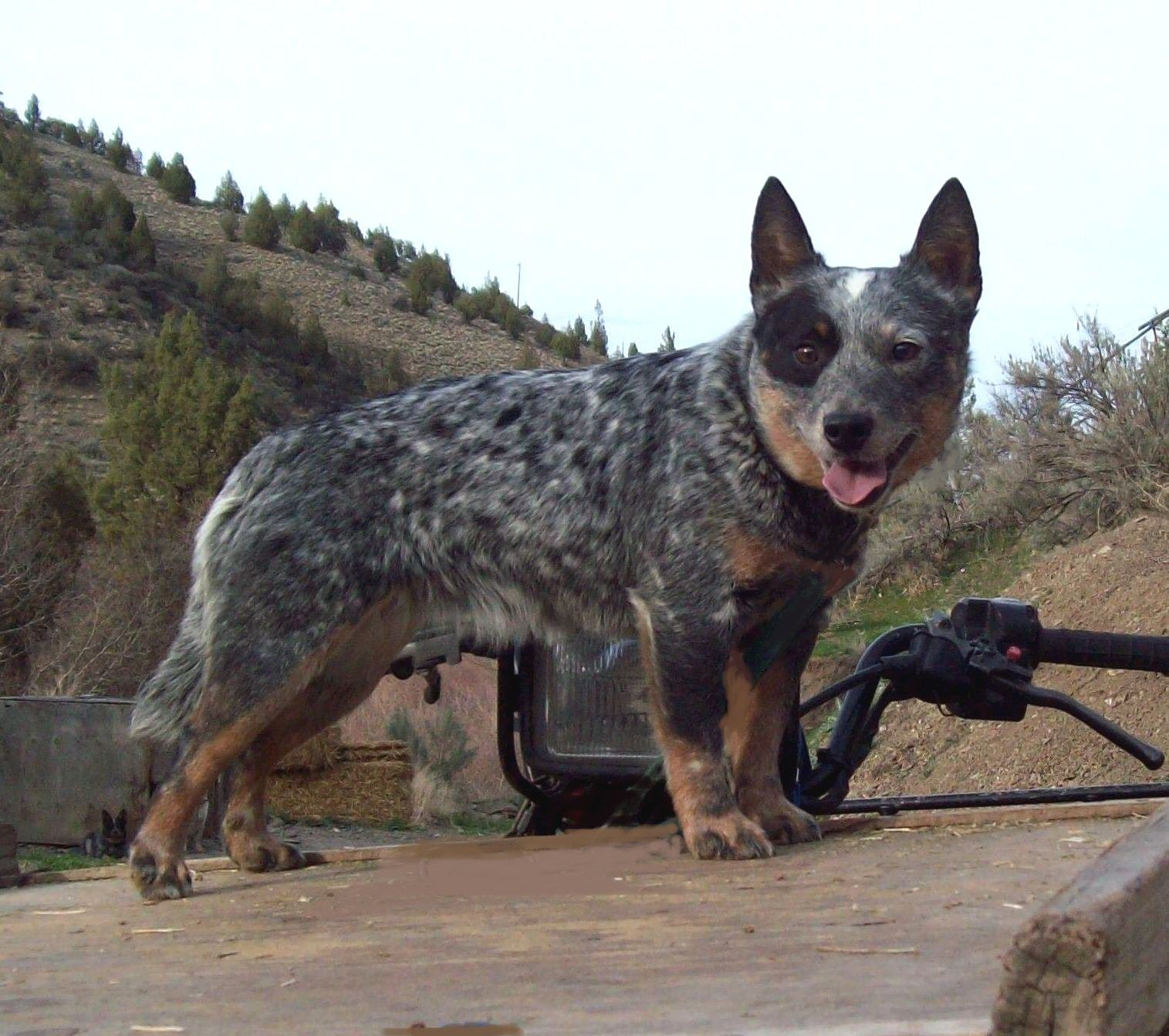 Blue Heeler Dogs Cattle Dog Puppy