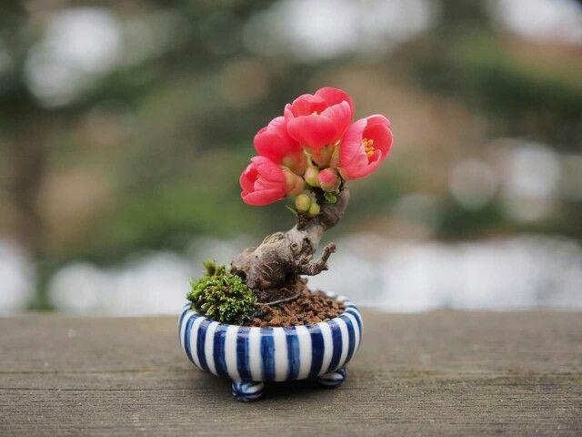 Rosa del deserto?