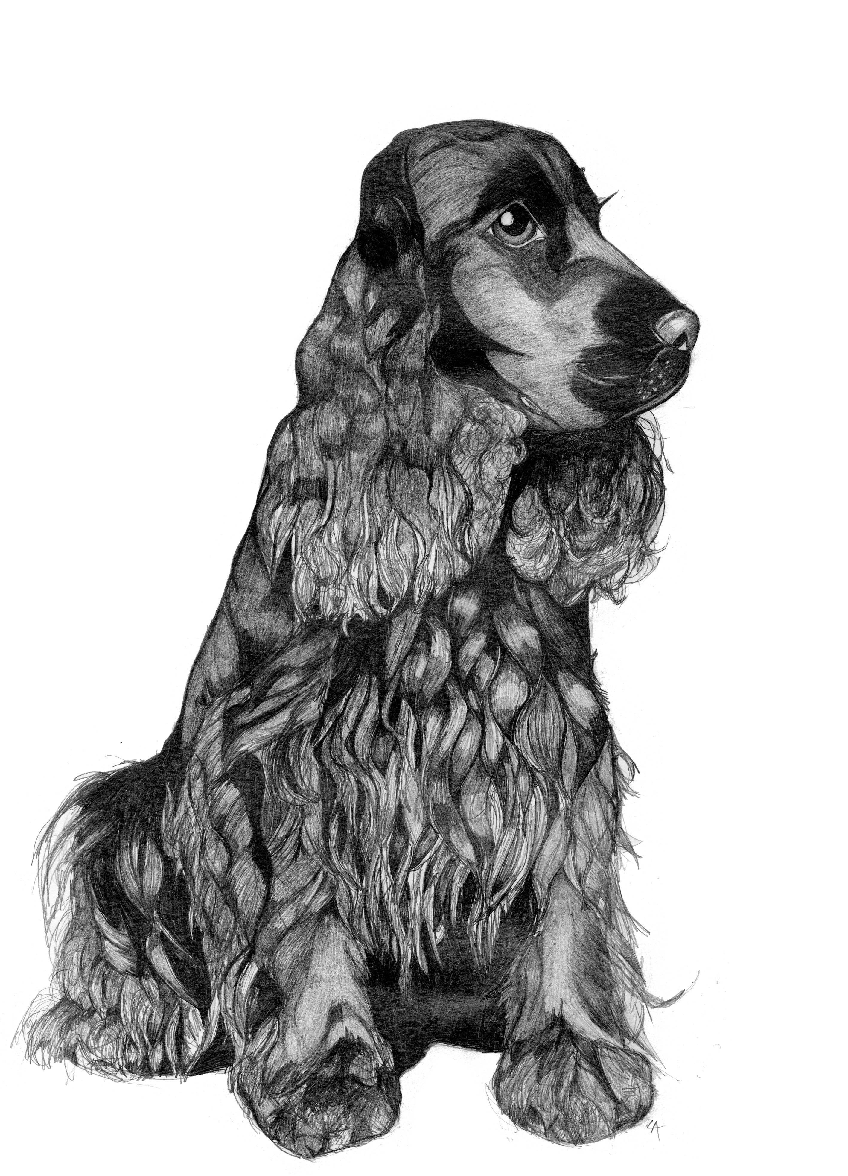 #louiseackerleyart Original pencil illustration by me, Louise Ackerley, of an English Cocker Spaniel