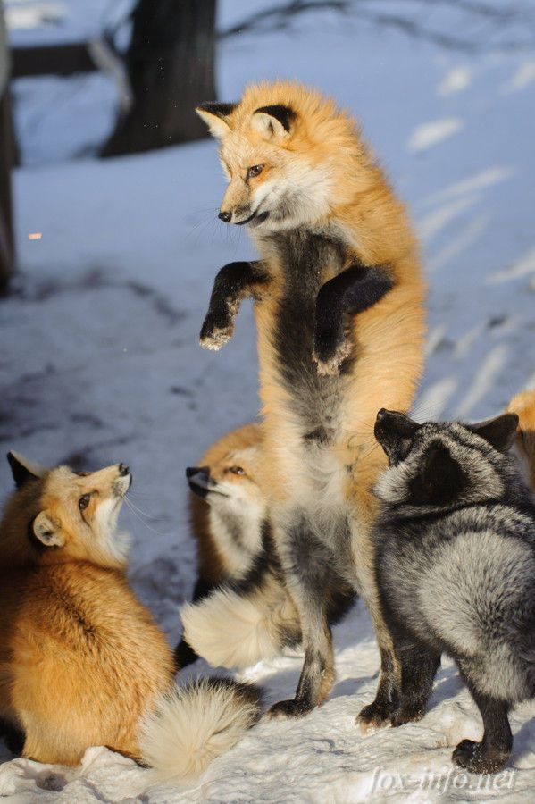 """Everything Fox 🐾 """"Check this foxes I can stand with onlyone cub sooo cute 5d7169a1fa"""