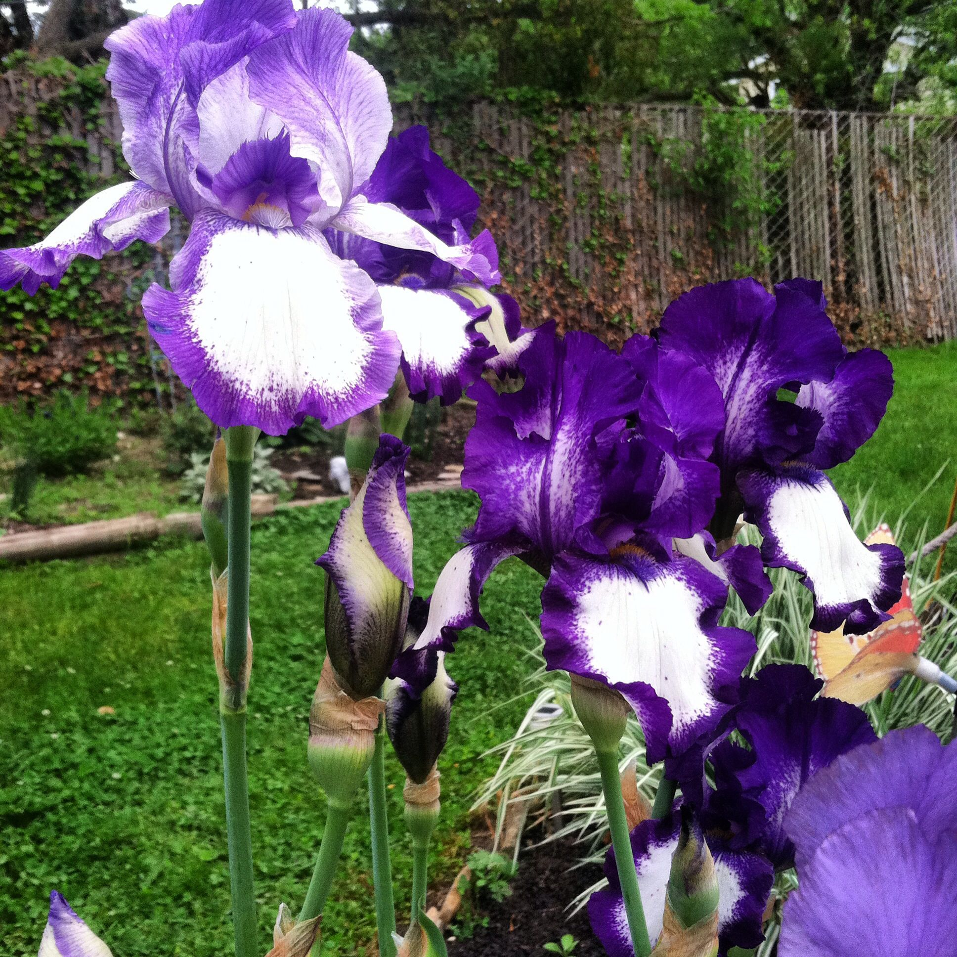 Purple and white Iris'. Not the normal kind but far more stunning and beautiful! #flowers #landscape #nature #Iris #beautiful