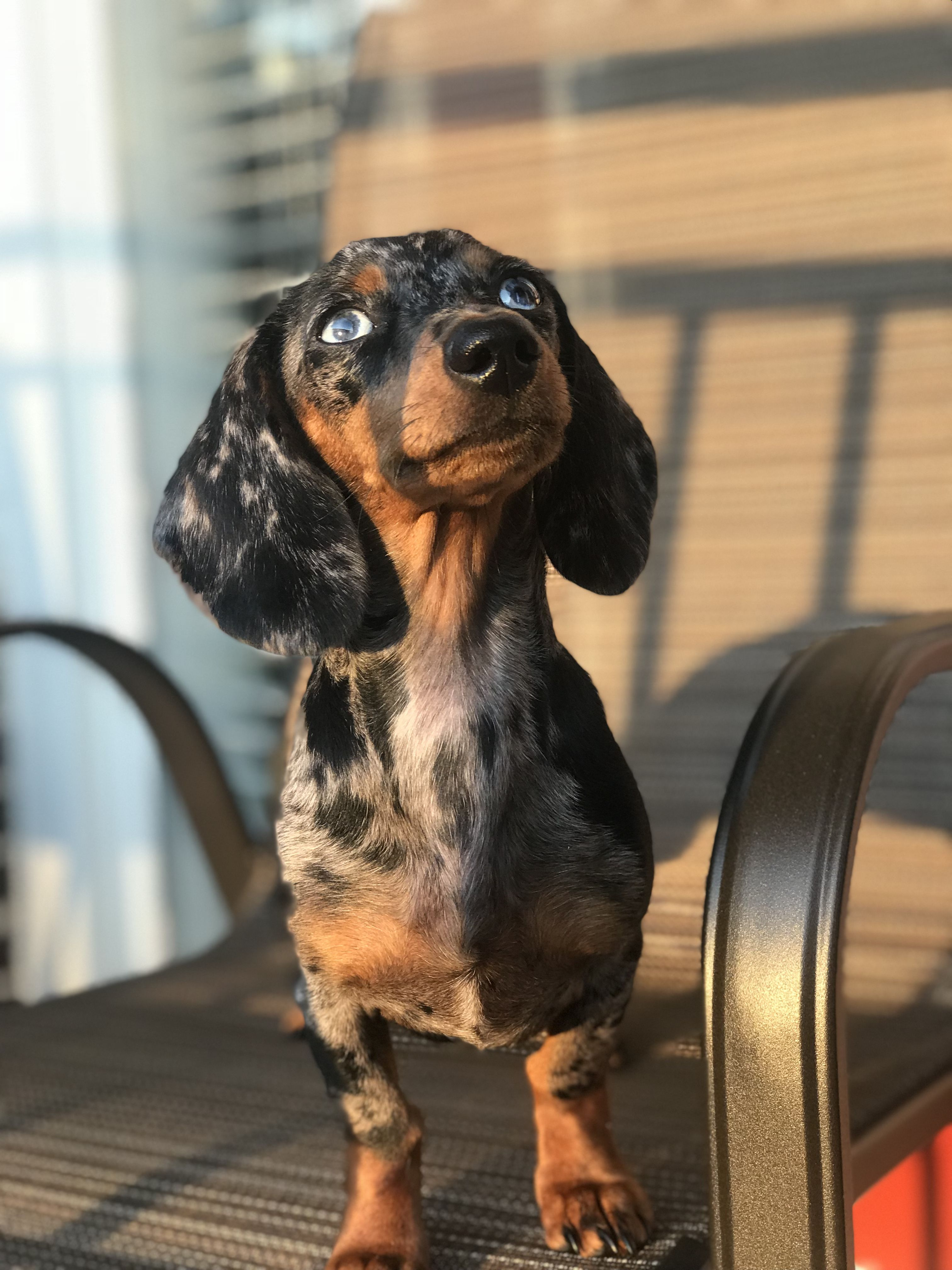 My Beautiful Baby Girl Lilotheminidoxie On Ig Dachshund Dapple