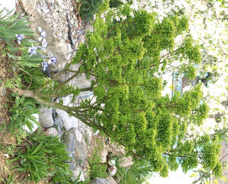 Acer palmatum 'Shishigashira': Lion's head Japanese maple