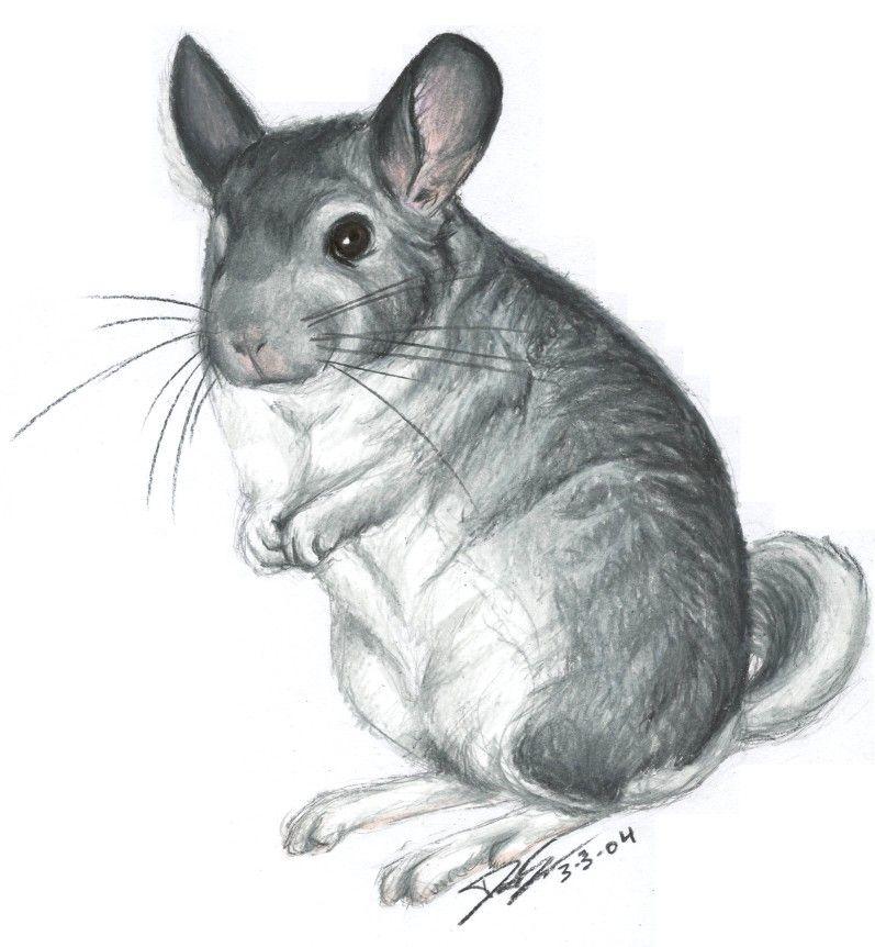 Chinchilla Sketch By Chinchilla Madness On Deviantart Cute