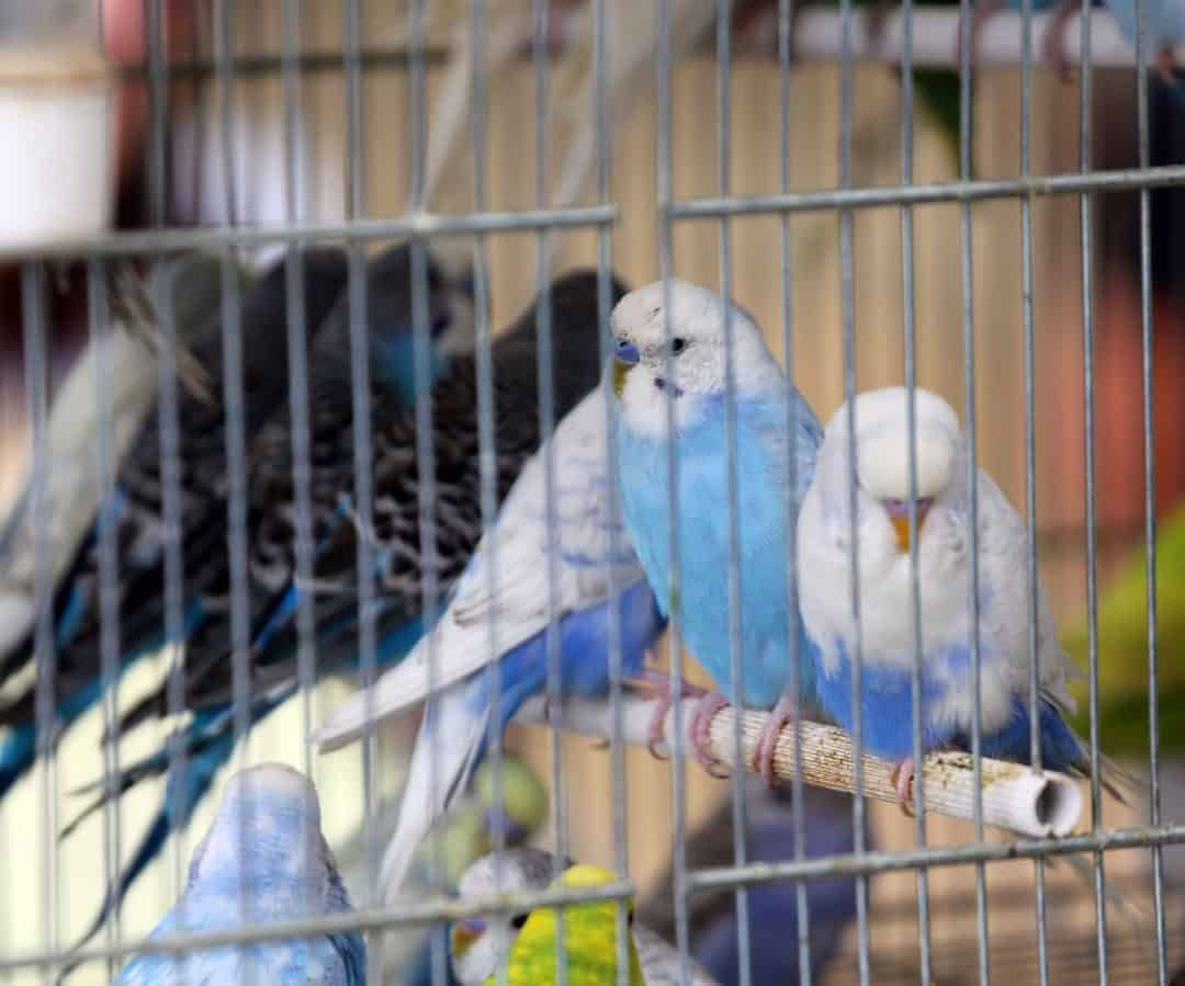 Petco Parakeets 9 Things To Know Before You Buy Parakeet Fancy