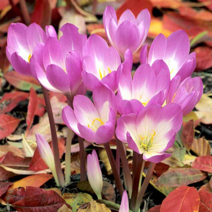 Colchicum bulbs dick trotter autumn flowering colchicum bulbs dick trotter all bulbs flower bulbs gardening suttons seeds and plants mightylinksfo Gallery