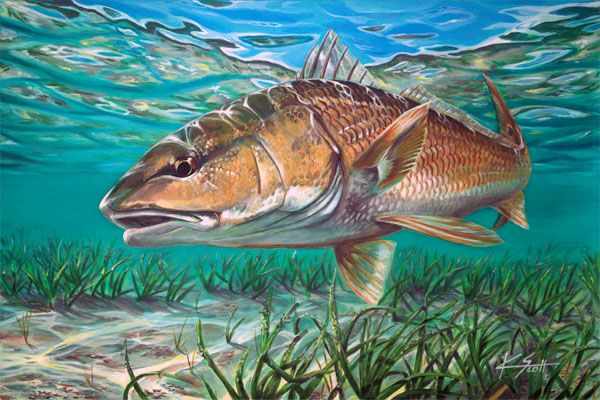 Red drum tail sunset red pinterest drums for Saltwater drum fish
