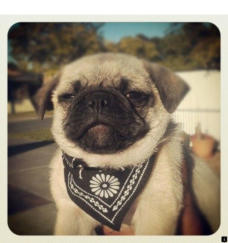 Learn About Pug Rescue Click The Link To Read More The Web