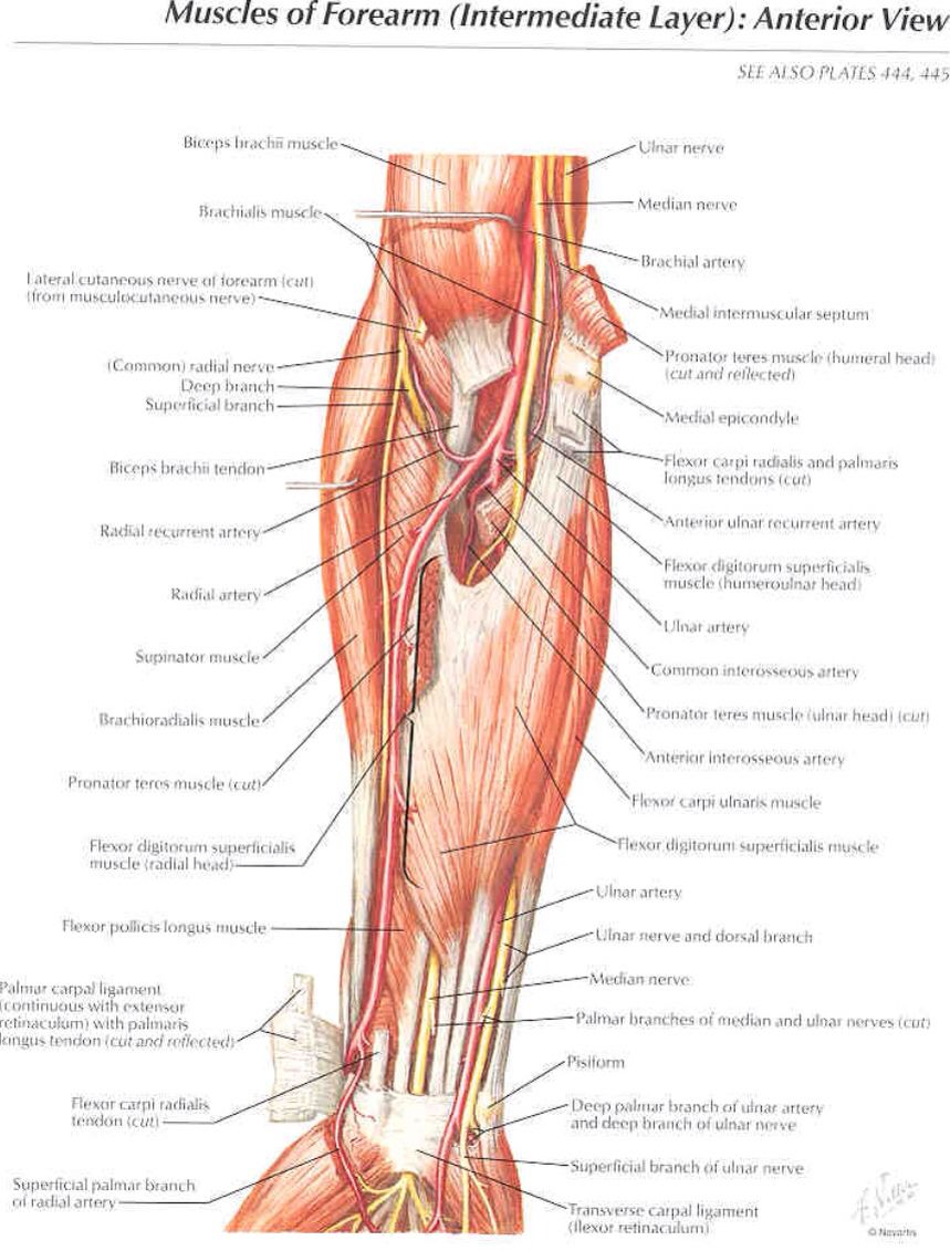 Anterior view of the muscles of the forearm | Anatomy | Pinterest