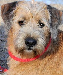 Adopt Bogart Awwww The Most Adorable Scruffy Pup Take A Look