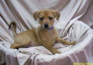 Adopt Mason On Pooches Dogs Animal Welfare League Retriever Dog