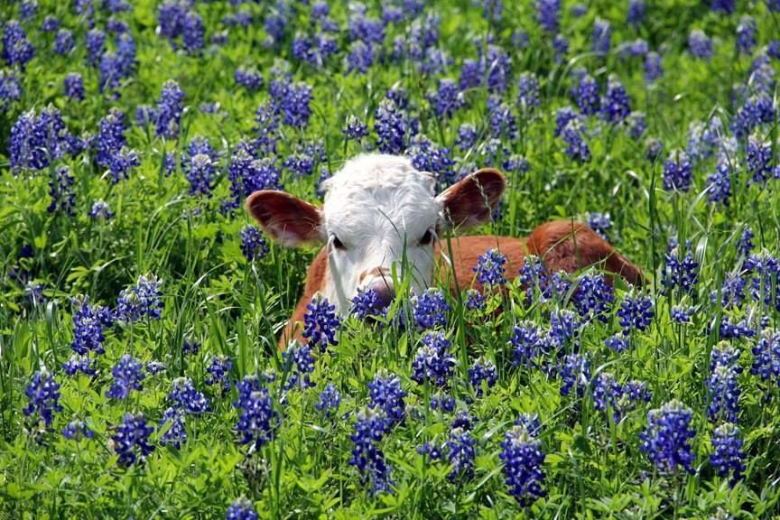 cow in bluebells Pet birds, Blue Cow