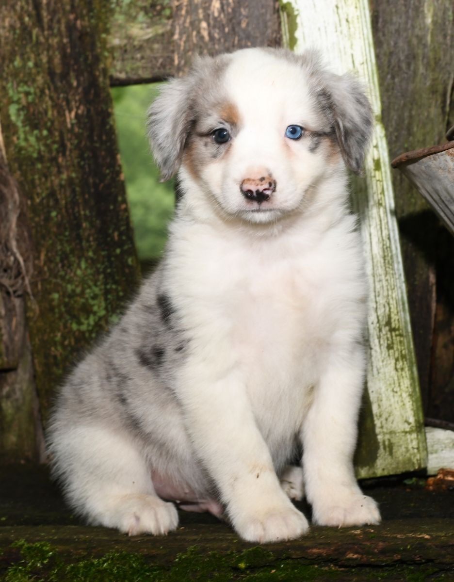 Puppies For Sale Australian Shepherd Puppies Puppies Aussie Cattle Dog