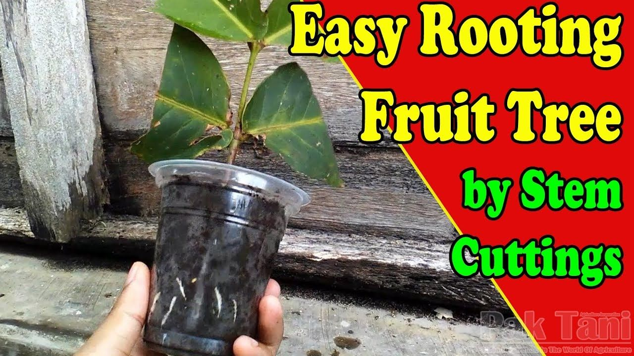 Rooting water apple tree by Grafting Examples YouTube
