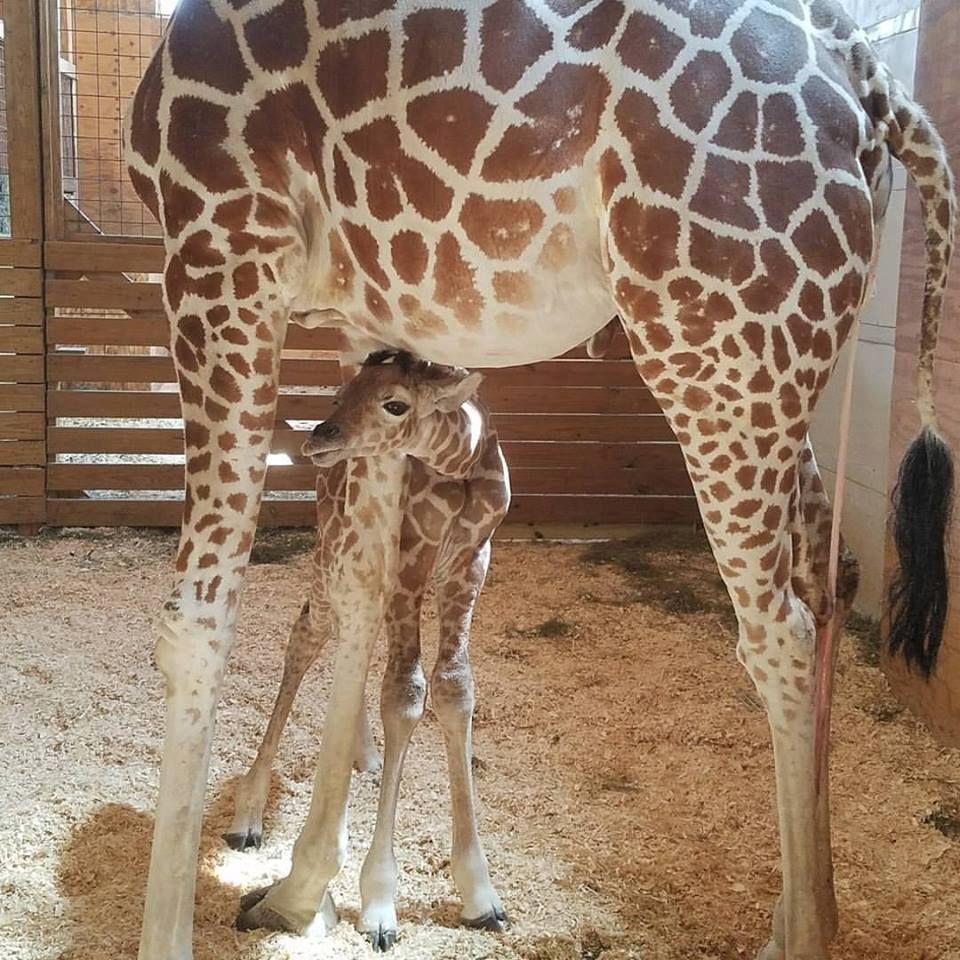 April The Giraffe S Baby Finally Has A Name Country Living Animal Adventure Park Giraffe Animals