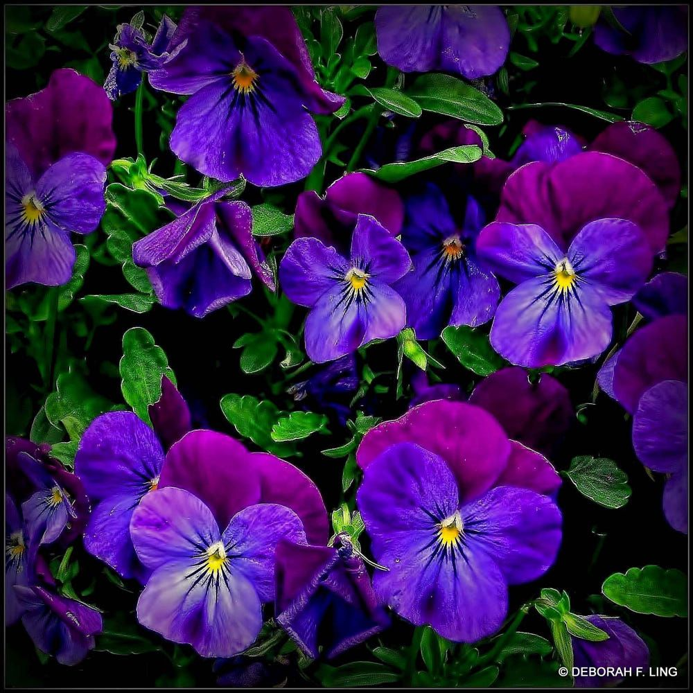 Happiness In Blue By Deborah F Ling On 500px Blue Flower Pictures Pansies Flowers Johnny Jump Up Flowers