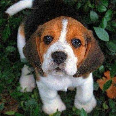 Cute Little Beagle Puppy Cute Dogs Cute Animals Cute Beagles