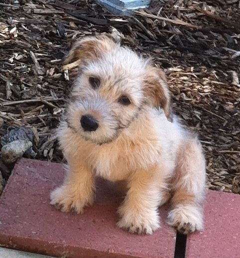 Happiness Is Having A Glen 3 Finnigan Glen Of Imaal Terrier