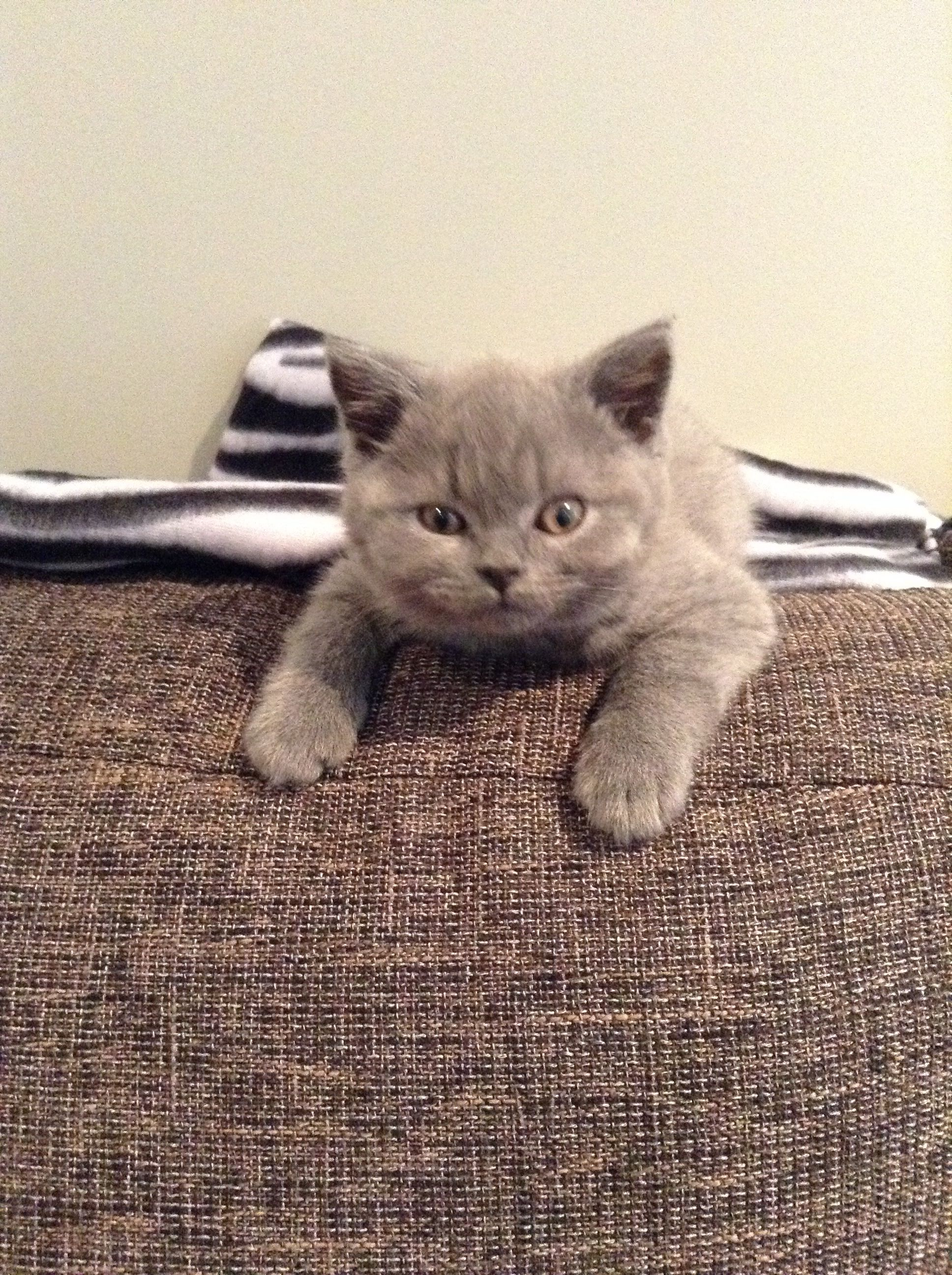 Ready To Pounce Zeus British Blue Shorthair Such A Beautiful Boy 10 Week Old Kitten