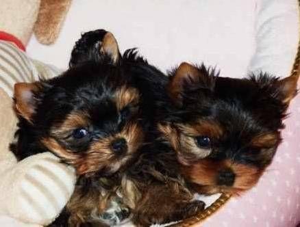 Dogs Puppies For Sale In Atlanta Ebay Classifieds Kijiji Page 1 Yorkie Puppy Cuddly Animals Yorkie