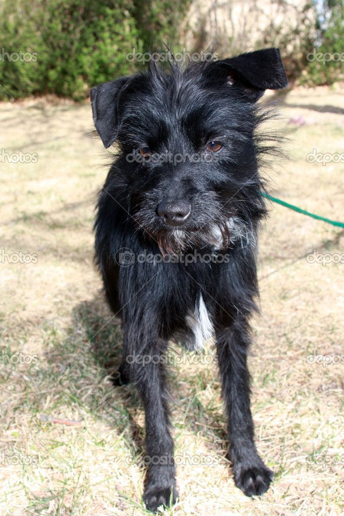 depositphotos_9761516-Black-small-wire-haired-dog.jpg (682 ...