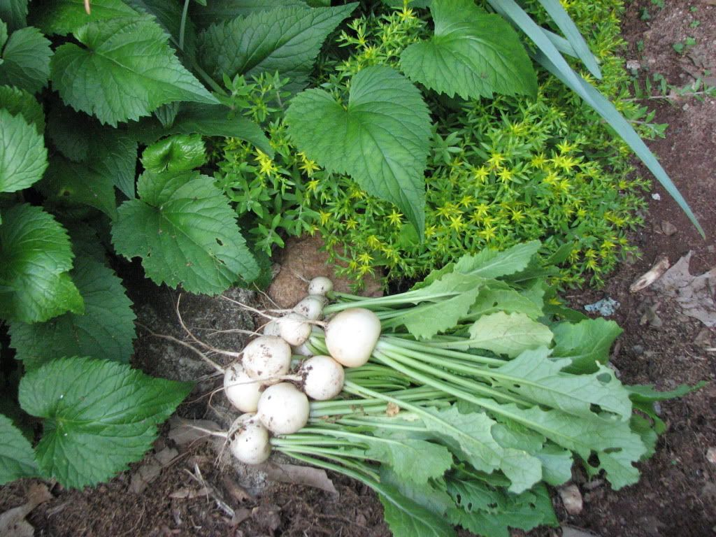 How to Grow Sweet Salad Turnips (with Recipes)