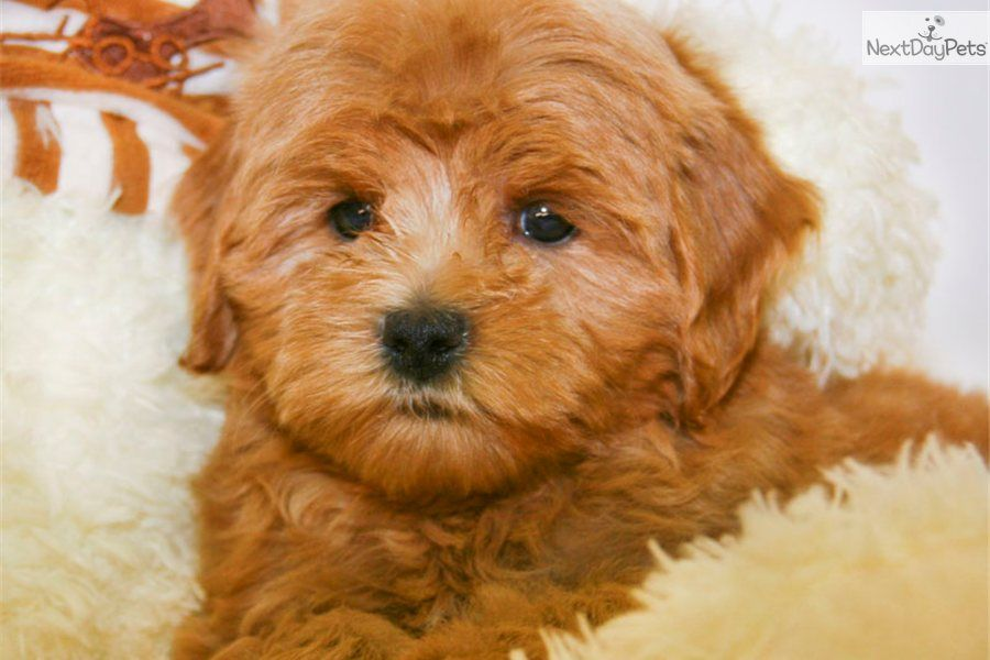 cavapoo puppies cute Cavapoo puppy for sale for 595
