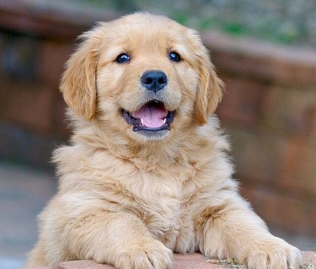 Happy Puppy Http Ift Tt 2htsa9y Retriever Puppy