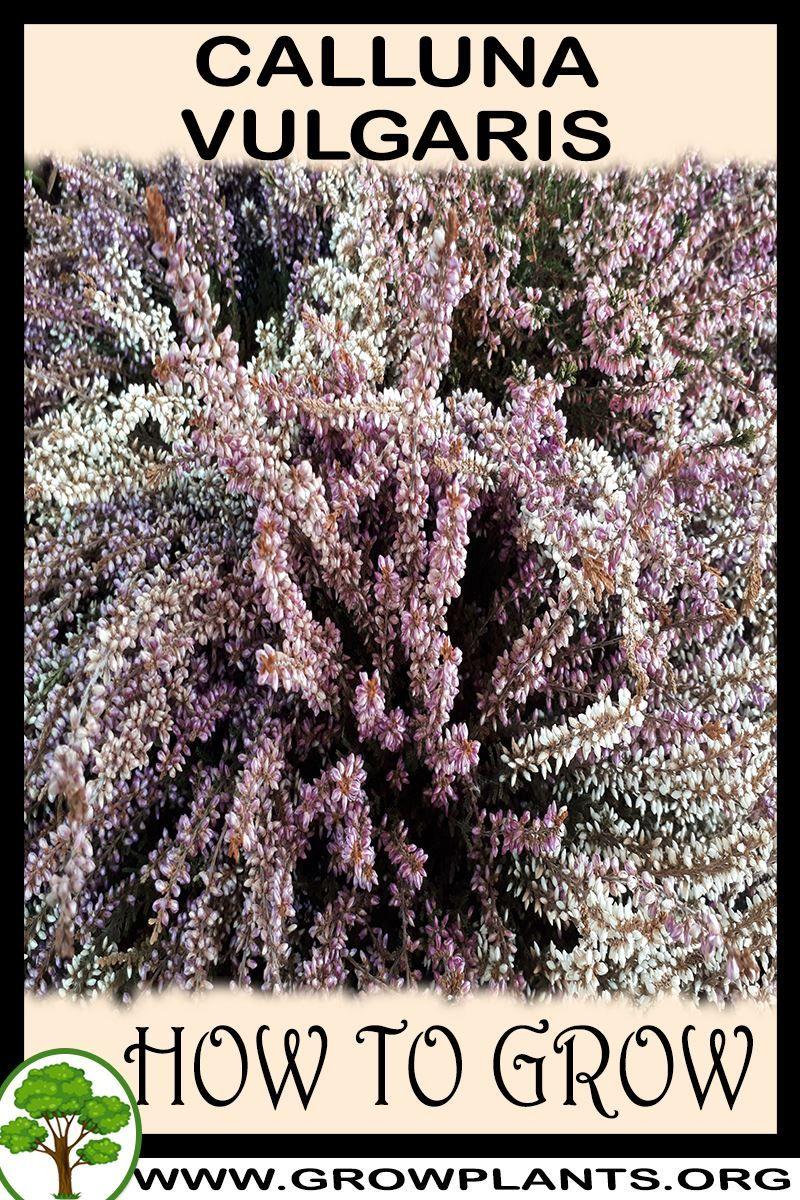 Calluna Vulgaris How To Grow Care Condition Calluna Vulgaris Info Climate Zone Growth Speed Water Light Pla In 2020 Heather Plant Peat Soil Evergreen Plants