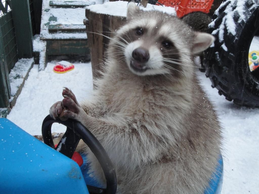 just a raccoon driving in the snow asking you to vote critter