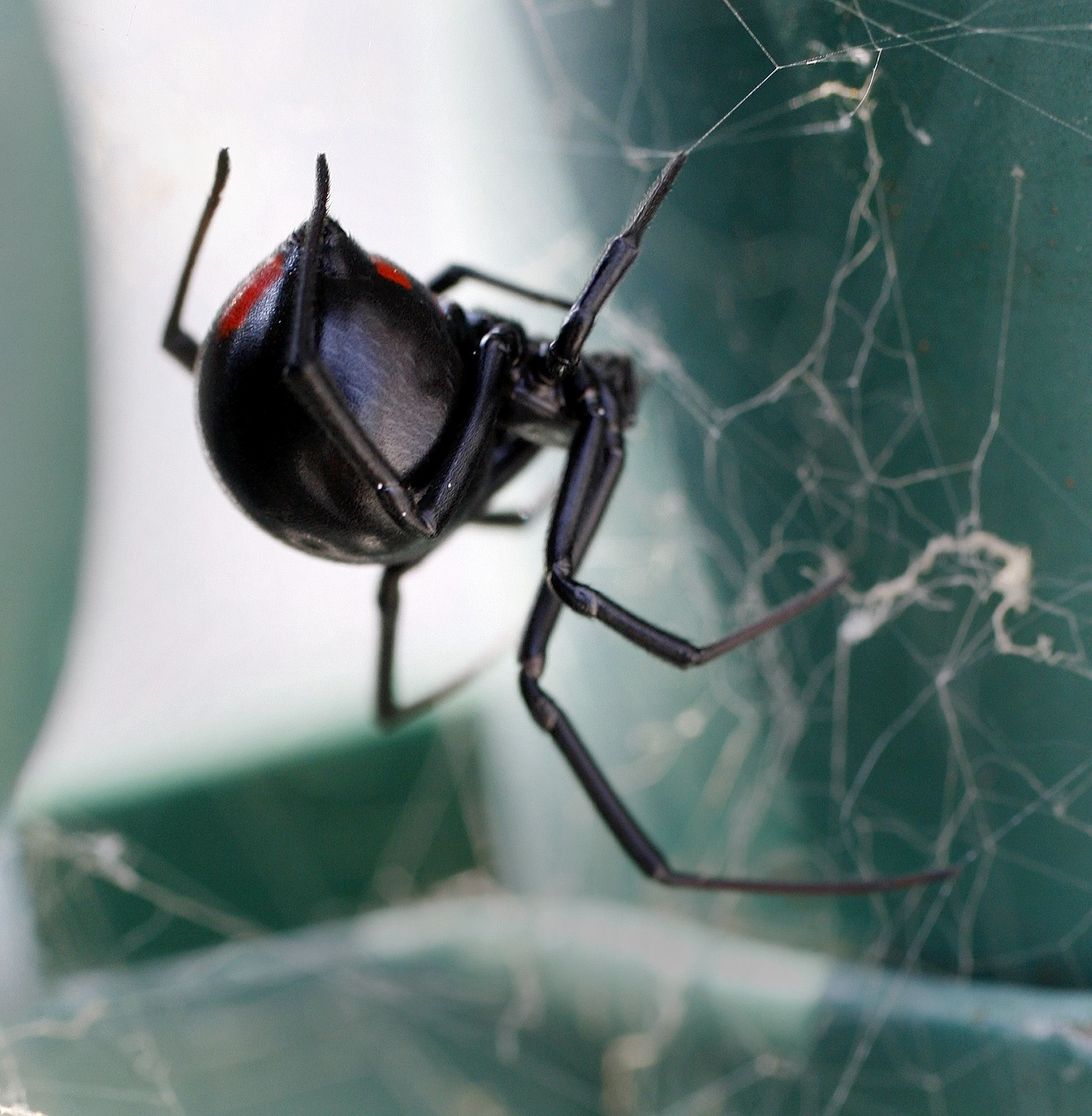 Black widow spider crawls out of bag of grapes and bites woman