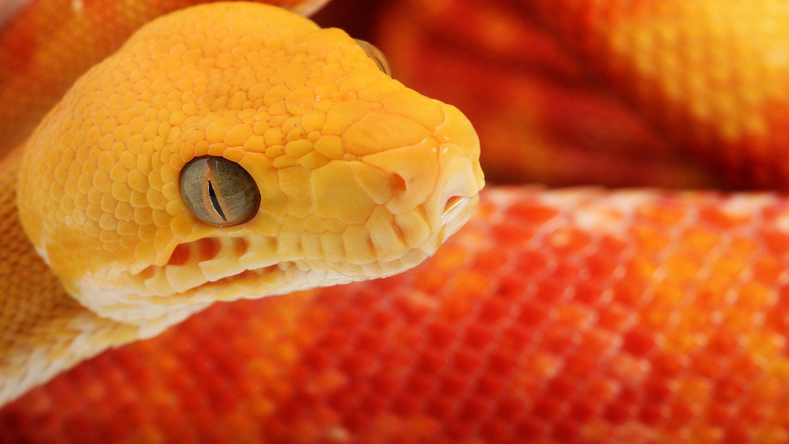 Download Cobra Snake Wallpaper For Android 42p Petakilan