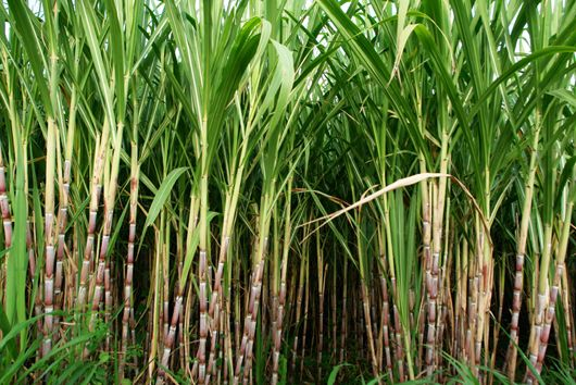 Every Teaspoon Of Raw Sugarcane Contains About 4 G Of Carbohydrates Raw Sugarcane Is Free From Fats Cholesterol Protei Sugar Cane Sugar Cane Plant Sugarcane