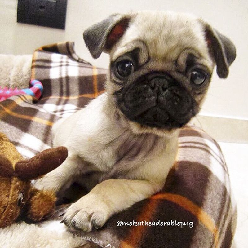 Meet Moka The Adorable Pug Http Www Thepugdiary Com Social