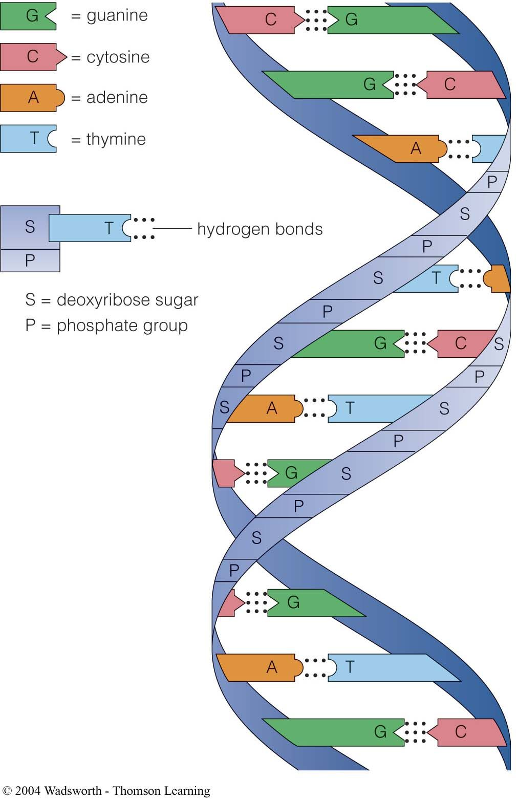 complementary base pairs purinepyrimidinepairs sugar