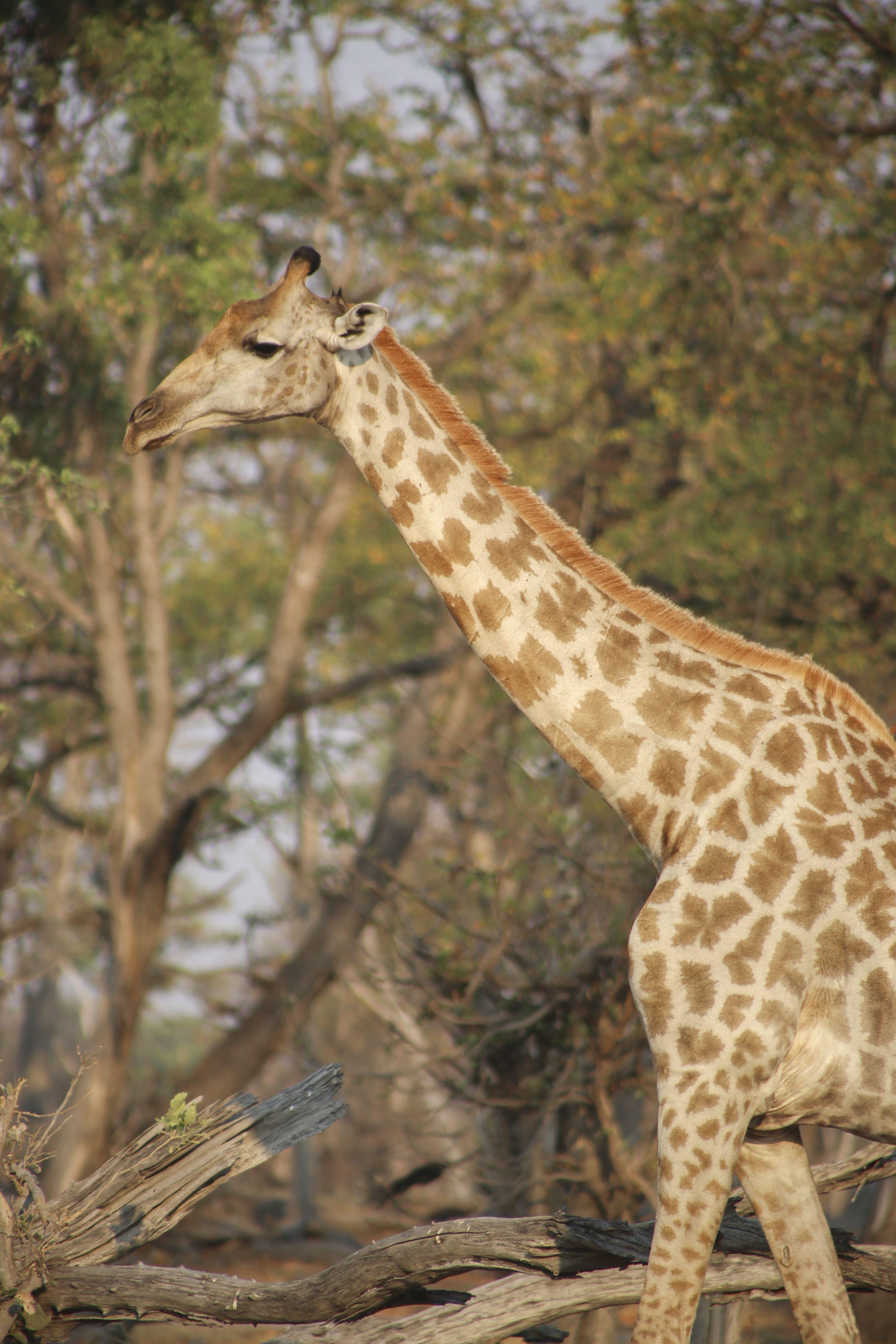 Giraffe. Moremi Game Reserve Botswana. Africa Travel