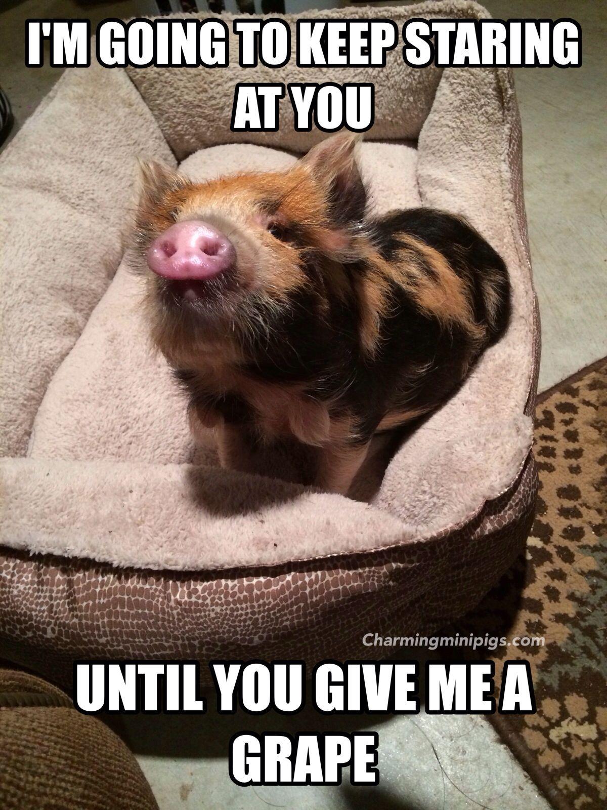 Kune Kune piglet gets what she wants! Charming Mini Pigs