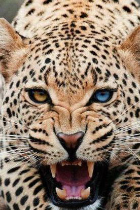 Leopard Eyes Like Jewels Animals Beautiful Rare Animals