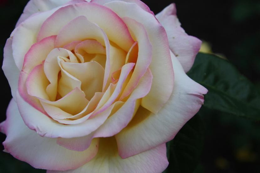 Cu les son los cuidados de los rosales trepadores en maceta 39 - Rosales en macetas ...