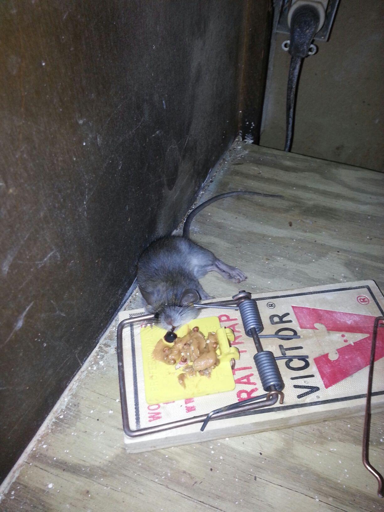 Roof Rat Caught Under A Kitchen Sink Http Www Abolishpestwildlifecontrol Com Roof Rats Rodent Control Rats