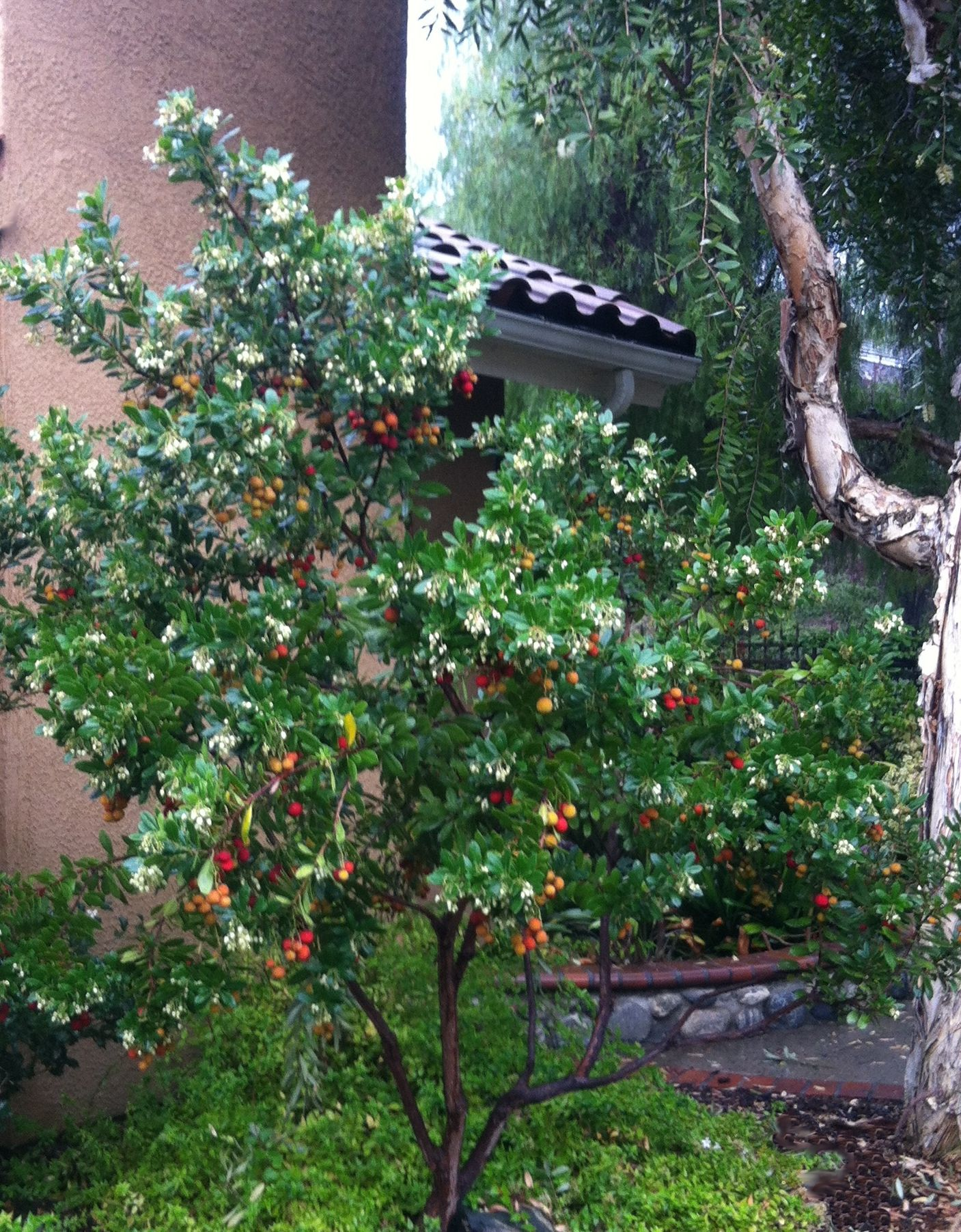 Dwarf Strawberry Tree Has Edible Like Fruits That From Fall To Late Winter Brings Throngs Of Erflies And Hummingbirds Partial Full Sun