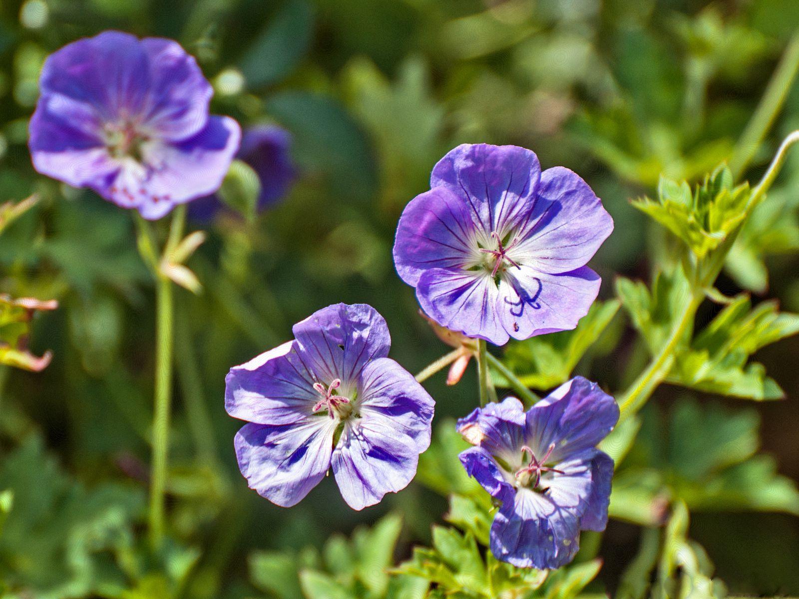 Discover the Award-Winning Geranium Rozanne | Perennial ...