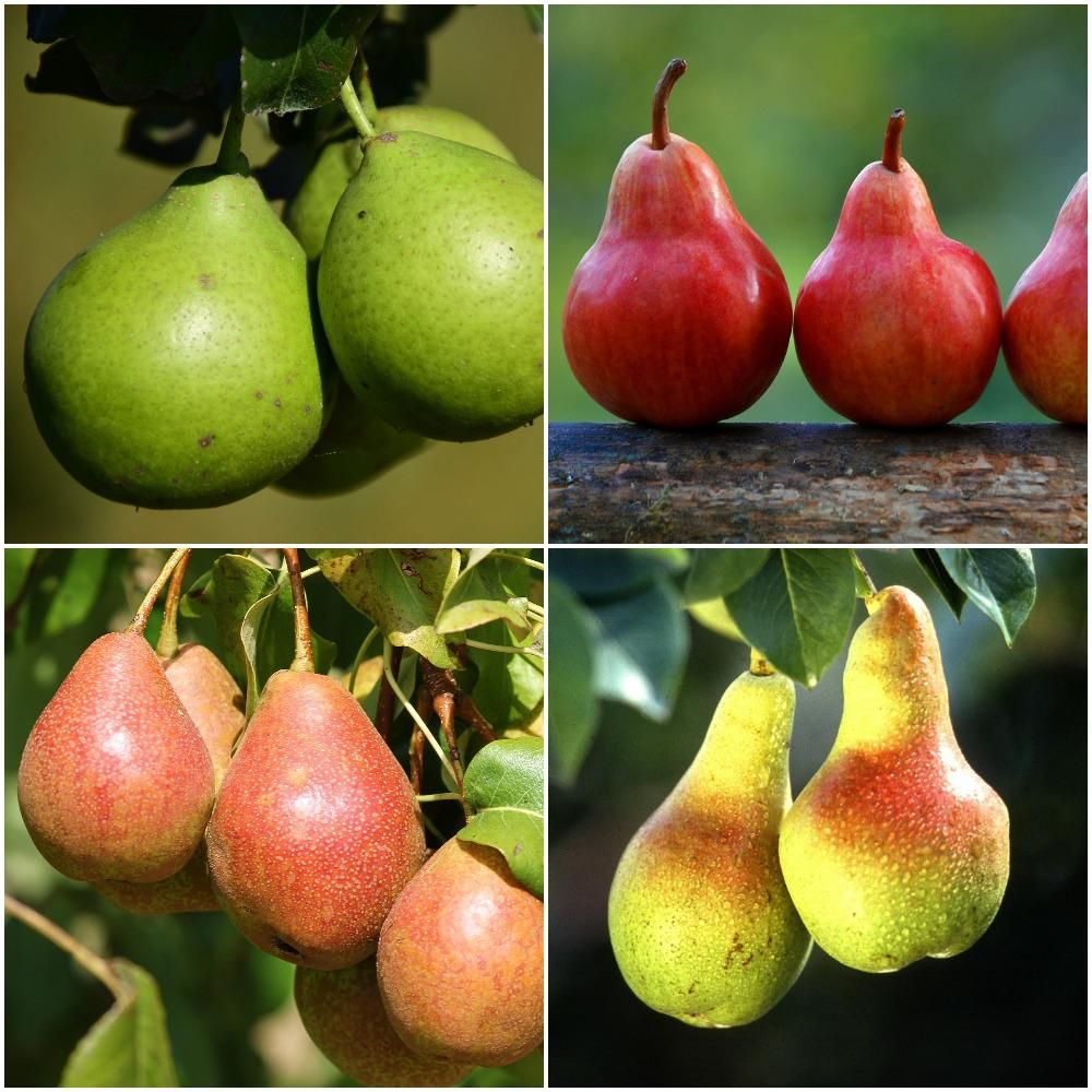 Online Orchards 4 In 1 Pear Jubilee Tree Bare Root Edible Garden Fruit Plants Home Grown Vegetables