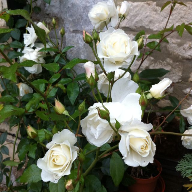 climbing iceberg rose white is my favorite colored rose. Black Bedroom Furniture Sets. Home Design Ideas