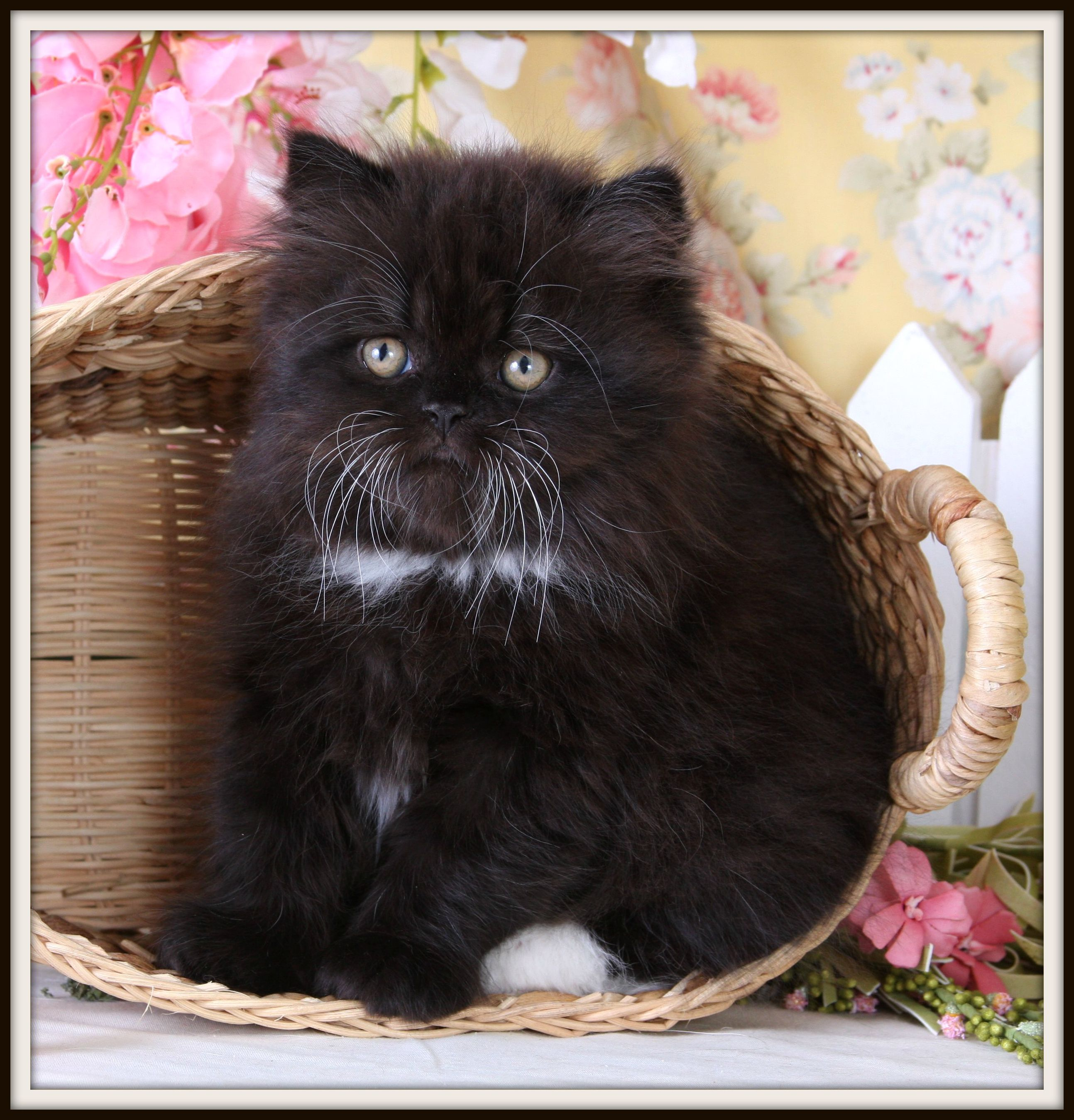 Full Grown Teacup Cats Gallery of Adult Teacup Cat