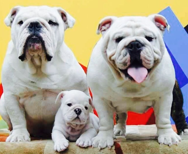 English Bulldog Family English Bulldog Puppies Bulldog Puppies