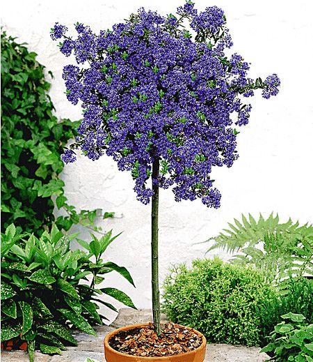 immergr ne s ckelblume ceanothus st mmchen 39 blue mound 39 1 pflanze garden pinterest. Black Bedroom Furniture Sets. Home Design Ideas